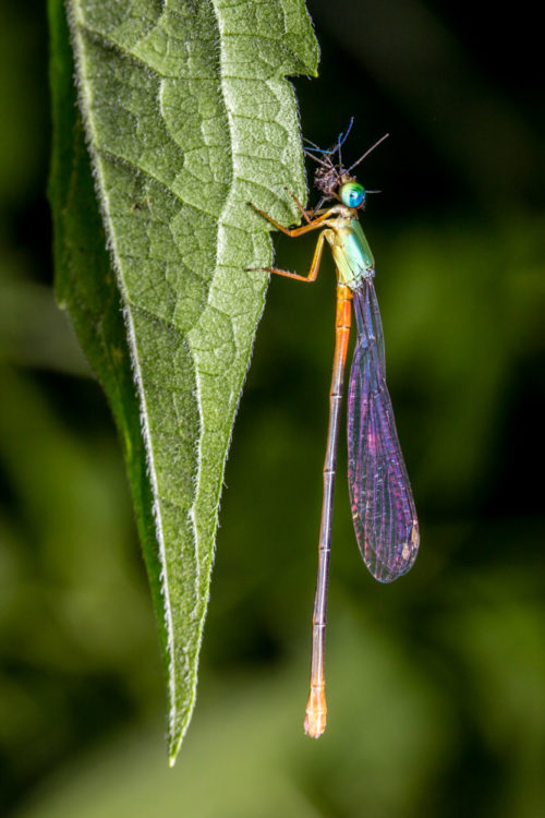 Orange-tailed Marsh Dart Feeding Mosquito
