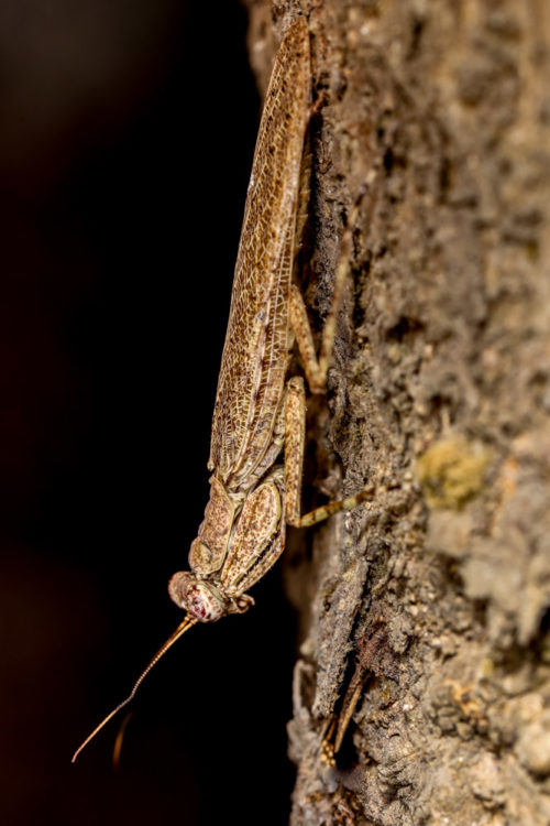 Bark Mantis (Humbertiella sp.)