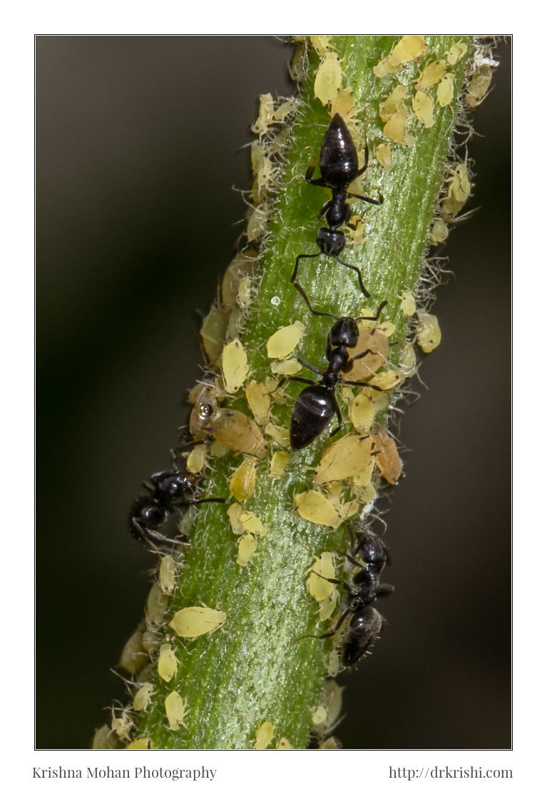white aphids