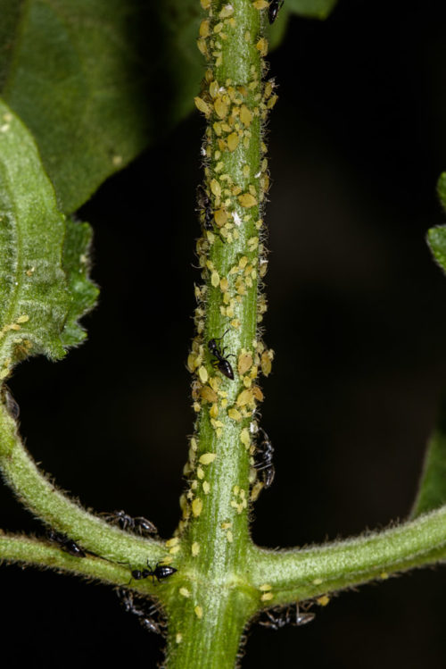 White Footed Ant with Aphids