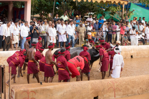 Getting buffaloes into the racing track