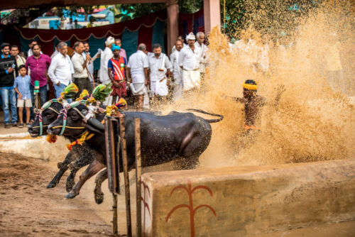Kene Halage at finishing point Moodabidri Kambala 2017