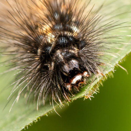 Red-Headed Hairy Caterpillar