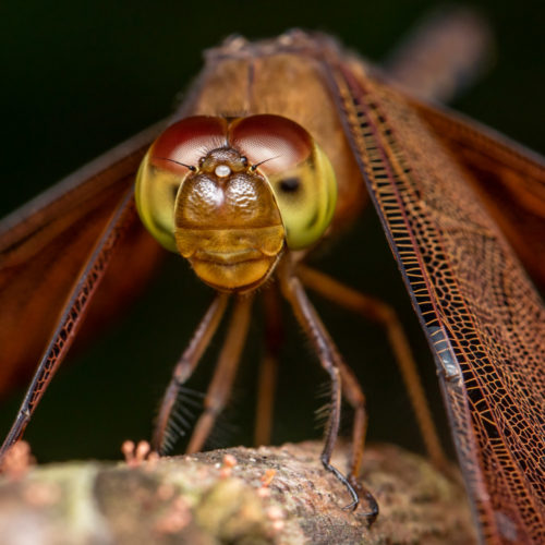 Fulvous Forest Skimmer Dragonfly