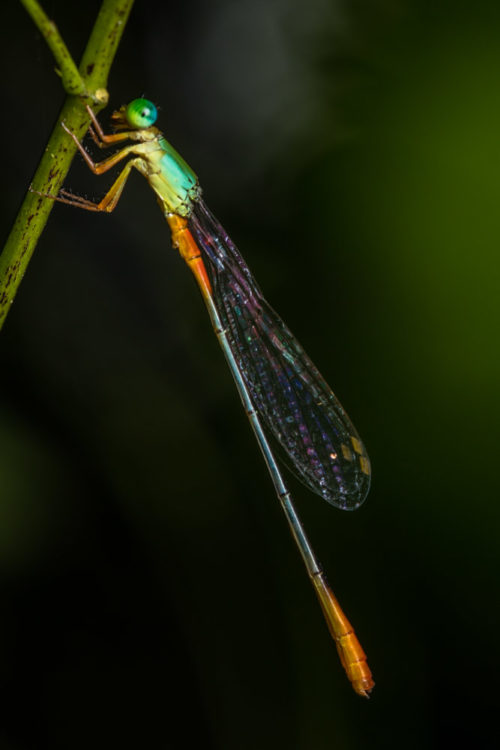 Male Orange-tailed Marsh Dart