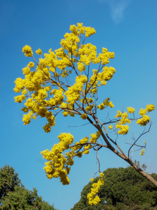 Tabebuia tree in bloom in Cubbon Park