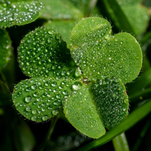 Shamrock with dew