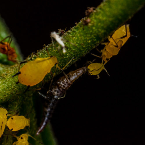 Lacewing Larva vs Aphids