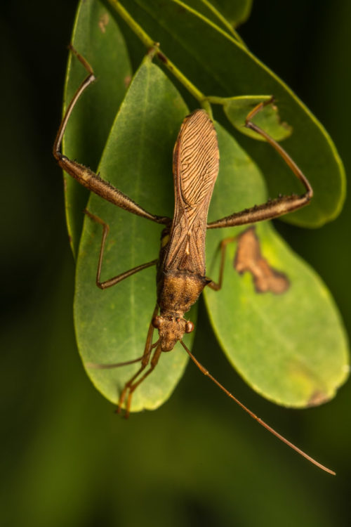 Pod Sucking Bug - Riptortus linearis