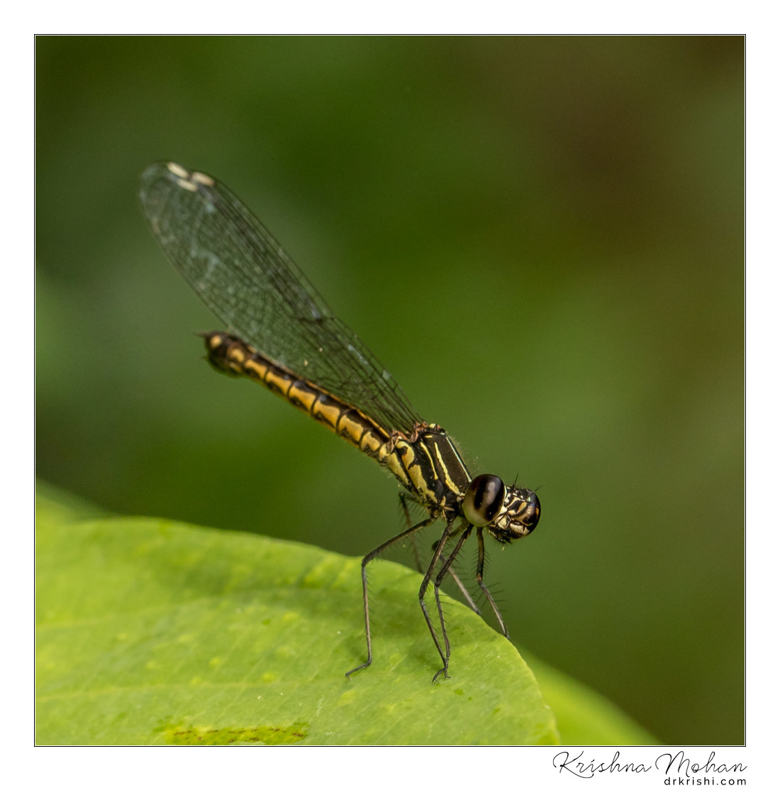 Natural Light Macro - Southern Heliodor Damselfly