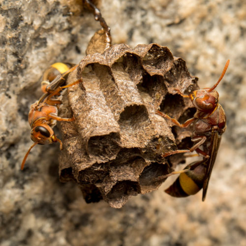 Ropalidia Social Wasp Nest