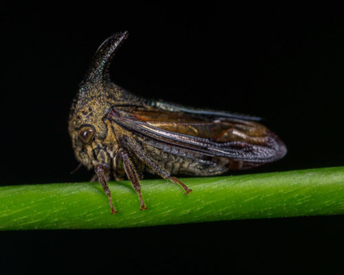 Thorn Mimic Treehopper
