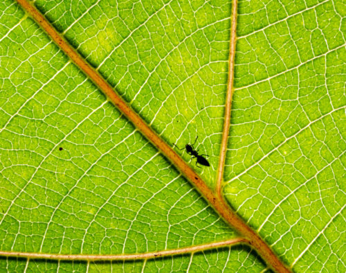 Patterns - Ant on a Leaf