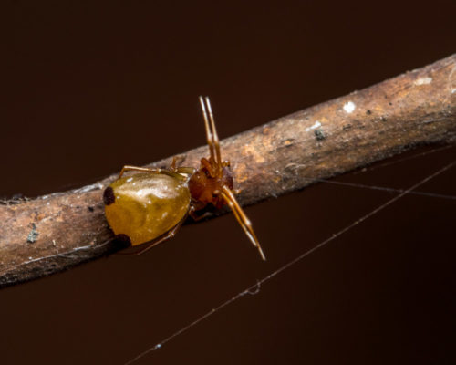 Ant-Like Crab Spider - Amyciaea forticeps