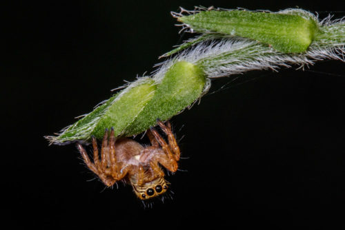 Carrhotus Spider