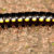 Black and Yellow Flat Millepede