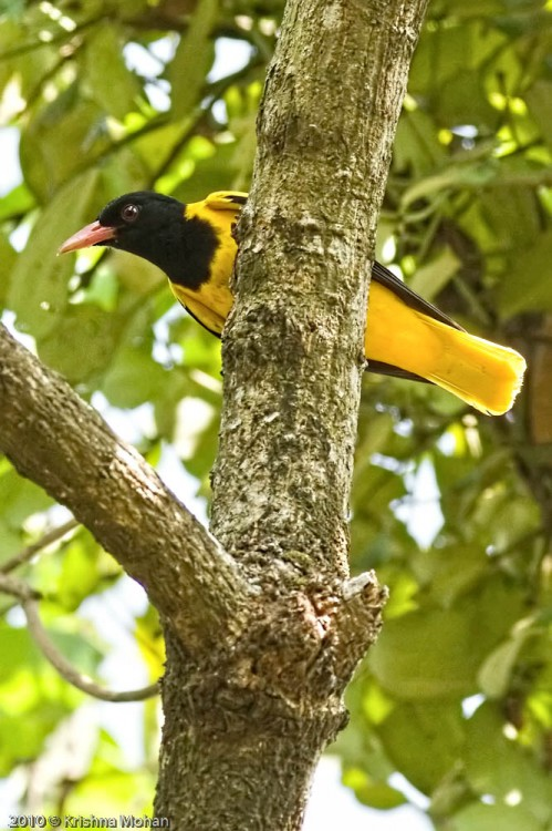 Male Black-hooded Oriole
