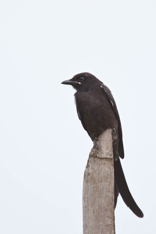 Black Drongo Frontal View