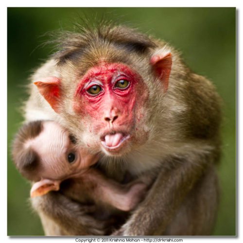 Bonnet Macaque Mother Threatening
