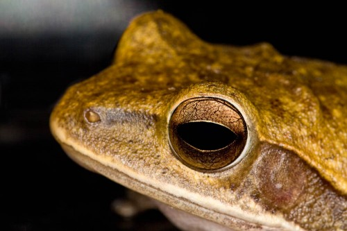 Common Indian Tree Frog Up Close