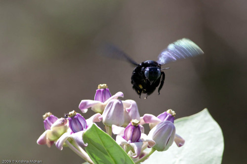Carpenter bee accepts defeats and abandons