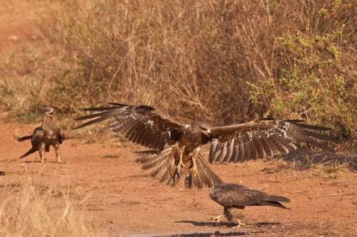 Small Indian Kite Landing