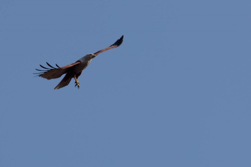 Brahminy Kite Side View