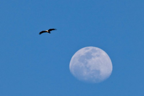 Moon and Brahminy Kite
