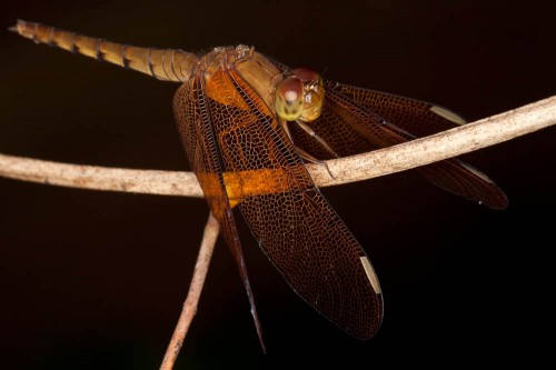 Fulvous Forest Skimmer - Female