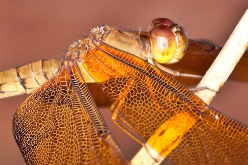 Fulvous Forest Skimmer Closeup
