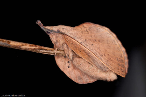 Gastropacha Species of Lappet Moth