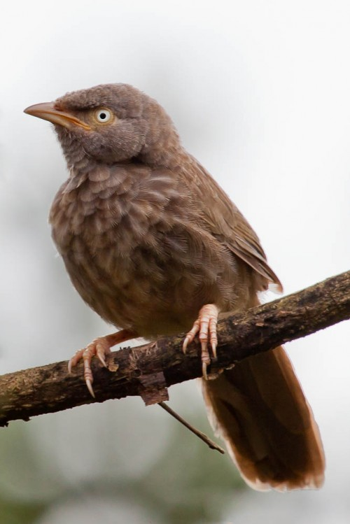 Juvenile Yellow-billed Babbler Cropped