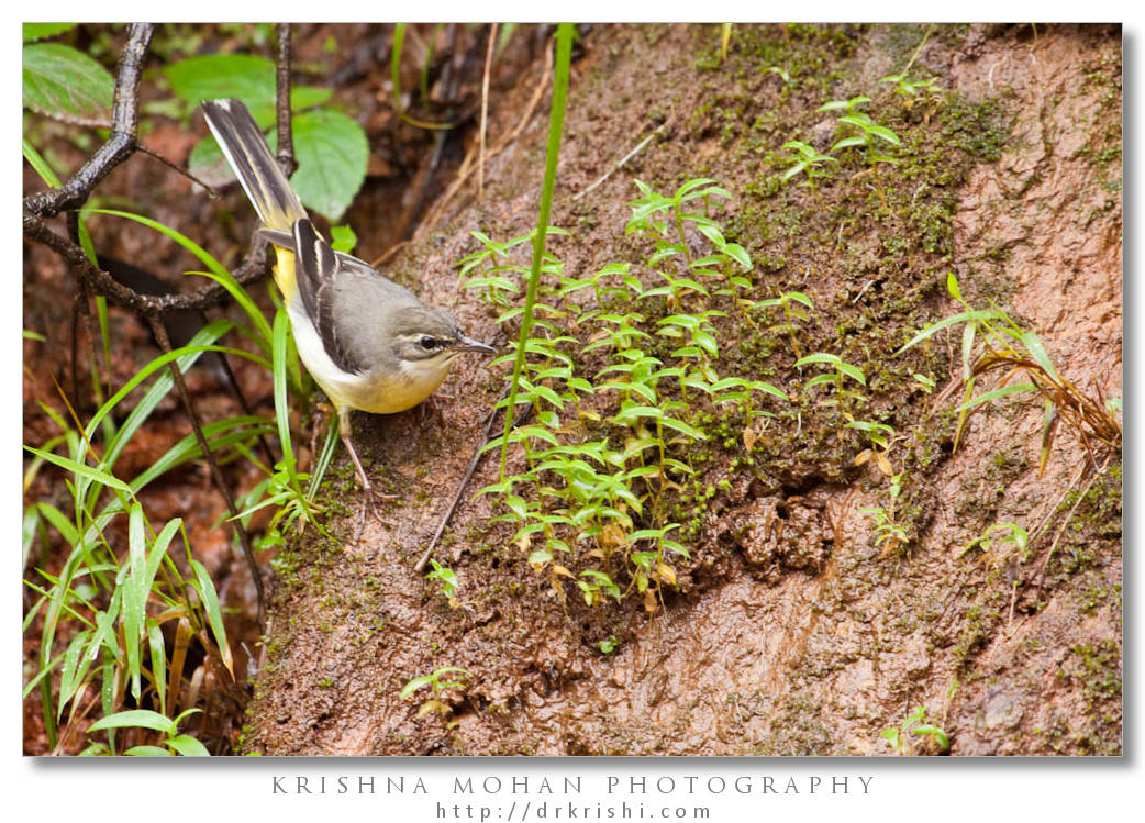 Female Grey Wagtail