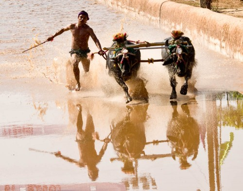 Kambala the buffalo-race