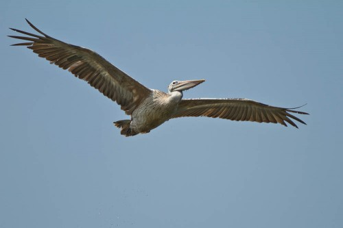 Kokkrebellur - Spot Billed Pelican bringing fish