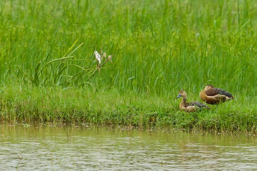 Pair of Lesser Whistling Ducks on Paddy field