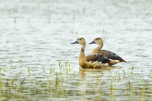 Pair of Lesser Whistling Ducks