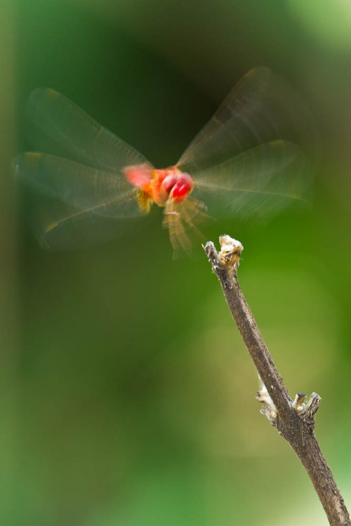 Male Scarlet Skimmer in flight