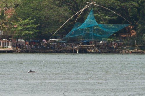 Dolphin in Vembanad Lake