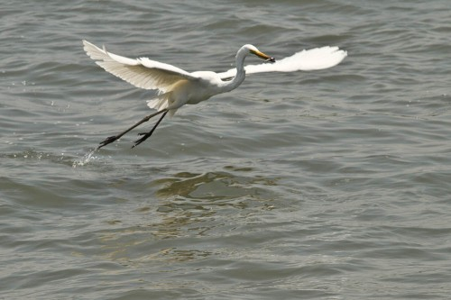 Fishing Great Egret