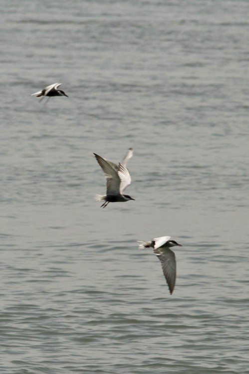 Common Terns on Vembanad lake