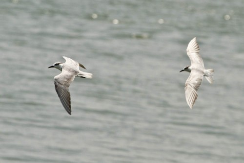 Whiskered Terns on Vembanad lake