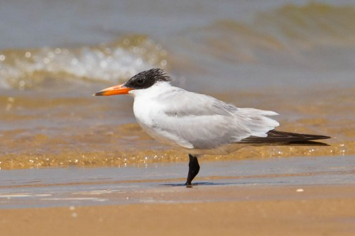 The Caspian Tern