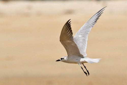 The Gull-billed Tern in flight