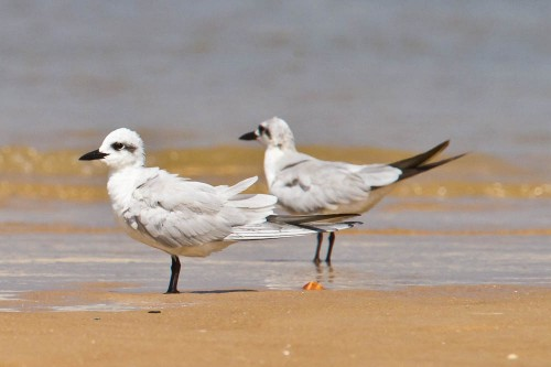 The Gull-billed Terns