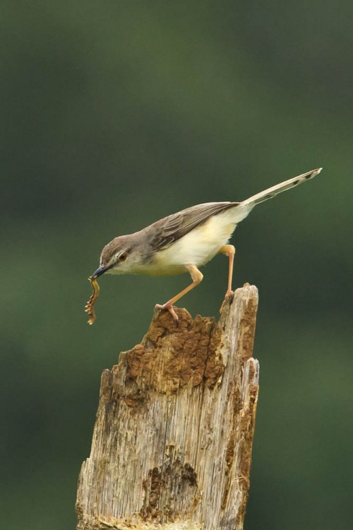 Plain Prinia Feeding on Caterpillar