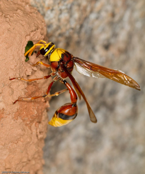 Potter Wasp Giving Finishing Touches