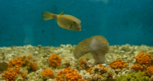 Yellow Box fish in Aquarium