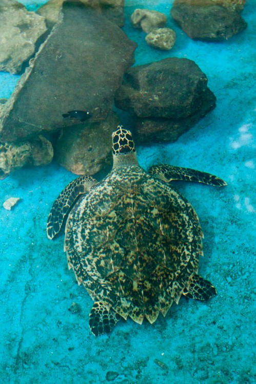 Critically Endangered Hawk bill Turtle in Marine Aquarium