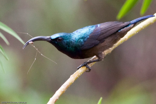 Male Loten's Sunbird with spider in its mouth